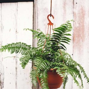 Hanging Boston Fern