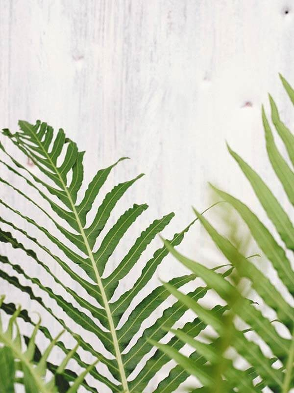 sword fern plant